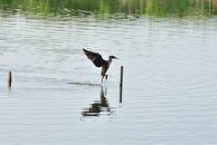 Double cormoran crêté Photographie stock libre de droits