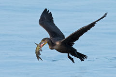 Double cormoran crêté Photo stock