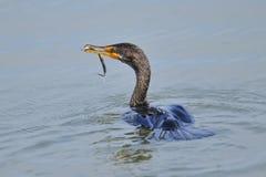 Double Cormorant crêté Images stock