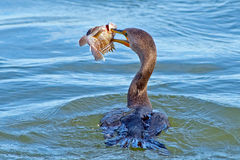 Double Cormorant crêté Photographie stock