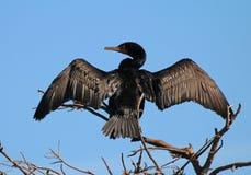 Double Cormorant crêté Image stock