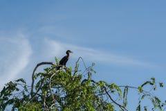 Double Cormorant crêté Photo stock