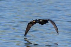 Double Cormorant crêté en vol Photo stock