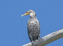 Double Cormorant crêté non mûr Image stock