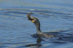 Double Cormorant cr?t? - auritus de Phalacrocorax photographie stock libre de droits