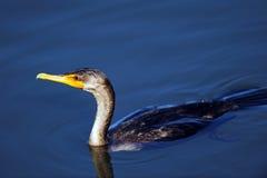 Double Cormorant crêté Photos libres de droits