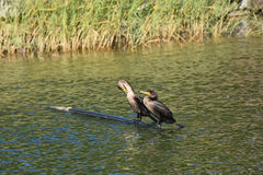 Double-crest cormorant pair. On log in river in Quebec Royalty Free Stock Images