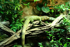Double crested basilisk. Sitting on a branch Stock Images