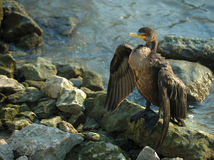 Double-Crested Cormorant Royalty Free Stock Image