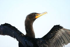Double crested cormorant Royalty Free Stock Photos
