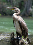 Double-crested Cormorant. Photograph of a Double-crested Cormorant perched on a dying stump along a Florida river royalty free stock image