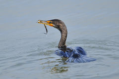Double Crested Cormorant Stock Images