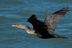 Double-crested Cormorant. Royalty Free Stock Photos