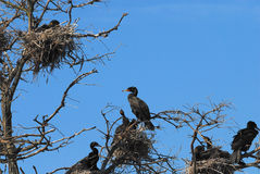 Double-crested cormorant. Standing on the nest Stock Photos