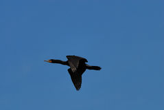 Double-crested cormorant. Flying past the nest Royalty Free Stock Image