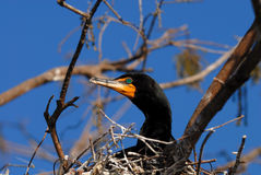 Double-crested cormorant. Standing on the nest Stock Image
