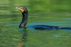 Double-crested Cormorant Stock Images