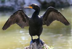Free Double-Crested Cormorant Royalty Free Stock Photo - 9776765