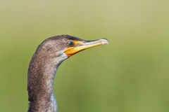 Double Crested Cormorant Close-up. Close-up head shot of a Double Crested Cormorant (Phalacrocorax auritus Royalty Free Stock Images