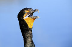 Double Crested Cormorant. Close up of a Double Crested Cormorant Royalty Free Stock Photos