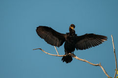 Double-crested Cormorant. Drying its wings in the sun royalty free stock photography