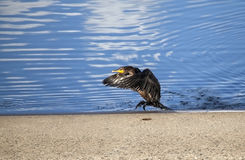 Double-crested Cormorant Drying Wings Royalty Free Stock Image