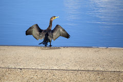 Double-crested Cormorant Drying Wings Royalty Free Stock Photos