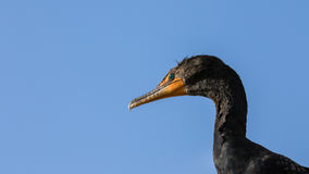 Double-Crested Cormorant, Everglades National Park, Florida royalty free stock photography