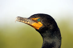 Double crested Cormorant everglades state national park florida usa. Horizontal royalty free stock image