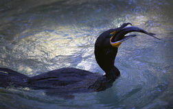 Double-crested Cormorant Feeding Stock Photo