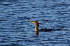 Double-Crested Cormorant fishing. Double Crested Cormorant looking for a fish meal Stock Photography