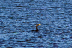 Double-Crested Cormorant fishing. Double Crested Cormorant looking for a fish meal Stock Photo