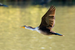 Double-crested Cormorant in flight Royalty Free Stock Image