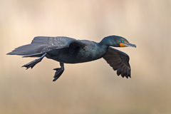 Double Crested Cormorant Royalty Free Stock Images