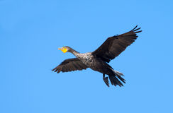 Double-crested Cormorant in Flight Stock Image