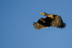Double-Crested Cormorant Flying in a Blue Sky Stock Images