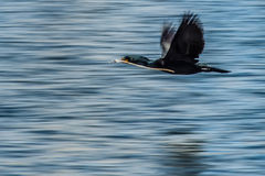 Double-crested Cormorant flying water Royalty Free Stock Photo