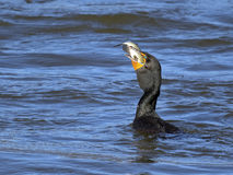 Double Crested Cormorant Stock Photo