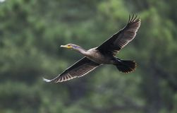 Double Crested Cormorant In Flight, Georgia USA Stock Photos