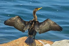 Double-crested cormorant by Lake Ontario. Double-crested cormorant Phalacrocorax auritus drying his wings by Lake Ontario near Oakville, Canada Royalty Free Stock Photography