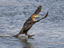 Double Crested Cormorant Landing Royalty Free Stock Photography