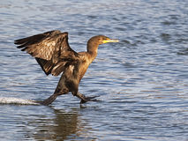 Double Crested Cormorant Landing Stock Images