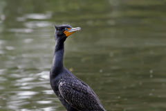 Double Crested Cormorant Male. Bird at Rhododendron Garden Royalty Free Stock Images