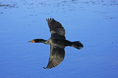 Double-Crested Cormorant male Royalty Free Stock Photo