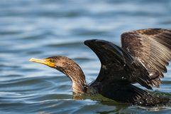 Double-crested Cormorant with its wings spread out to dry. stock image