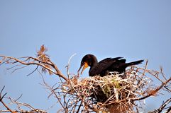 Double-crested cormorant in nest Royalty Free Stock Photography