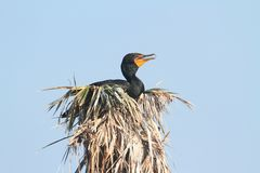 Double-crested Cormorant In a Nest Stock Photography