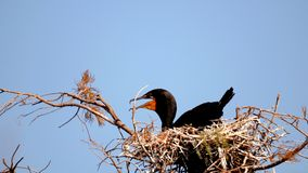 Double-crested cormorant in nest, South Florida Stock Images