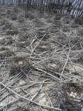 Double Crested Cormorant Nesting Colony. Double Crested Cormorants (Phalacrocorax auritus) nest in trees or on the ground Royalty Free Stock Images