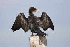 Double-crested Cormorant perched on a dock piling spreading its Royalty Free Stock Photo